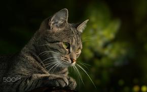 Wallpaper cat, cat, look, Kote, green background