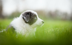 Picture greens, grass, grey, dog, meadow, puppy, blurry, Wallpaper from lolita777, Aussie