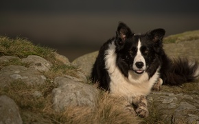 Picture face, nature, portrait, dog, the border collie, Wallpaper from lolita777