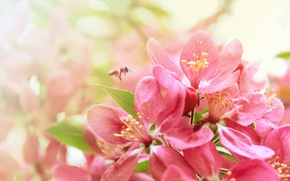Wallpaper bee, spring, Sakura, flowering