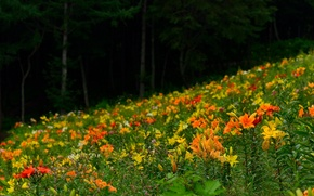 Picture forest, trees, flowers, plant, Lily, petals, slope, meadow