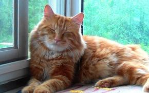 Picture cat, sleep, Kurilian Bobtail, Timka