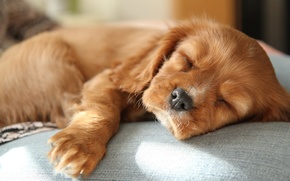 Picture sleep, baby, red, cute, puppy, Spaniel