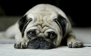Picture eyes, face, pug