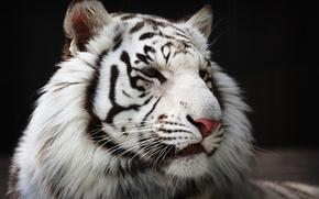 Picture fur, predator, face, white tiger, wild cat