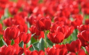 Picture flowers, spring, garden, tulips, forest, parks, gardens