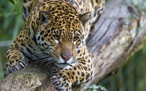 Picture cat, look, claws, Jaguar, log, ©Tambako The Jaguar