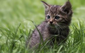 Wallpaper grass, kitty, wild cat, forest cat