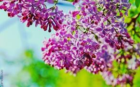 Wallpaper lilac, branch, lilac