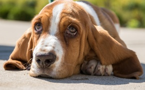 Picture look, face, portrait, dog, The Basset hound
