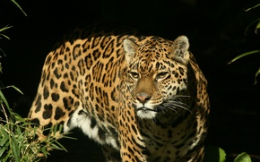 Picture look, face, predator, Jaguar, hunting