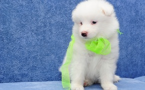 Picture dog, puppy, Samoyed