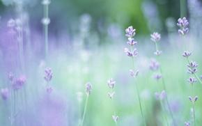 Picture greens, macro, flowers, glade, plants, focus, spring, blur, lavender