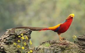 Wallpaper rock, flowers, wildlife, golden pheasant