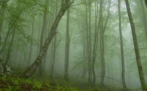 Picture forest, trees, fog, stone, morning