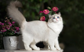 Picture cat, flowers, tail, Ragdoll