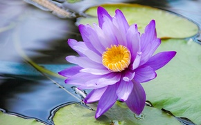 Wallpaper leaves, water, Blue Lotus, Water Lily blue, Water Lily