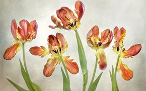 Picture macro, petals, tulips, wilting