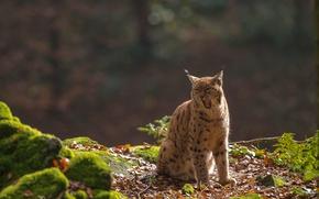Picture lynx, wild cat, yawn