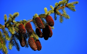 Picture spruce, branch, bumps