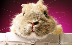 Wallpaper Hamster, wool, face