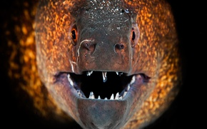 Picture macro, fish, teeth, mouth, Moray