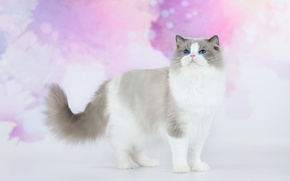 Picture cat, cat, look, background, pink, fluffy, handsome, blue-eyed, ragdoll