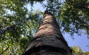 Picture forest, summer, the sky, trunk, birch, grove