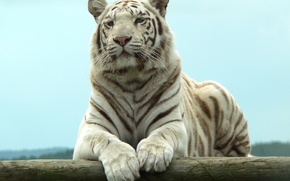 Wallpaper predator, stay, white tiger