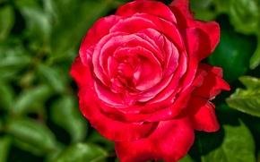 Picture macro, rose, petals, blur, Bud