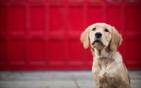 Picture dog, Golden Retriever, Golden Retriever