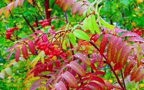 Picture autumn, berries, foliage, Rowan