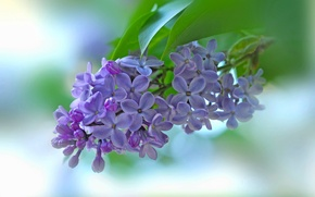Wallpaper macro, background, branch, flowers, lilac, inflorescence