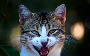 Picture mouth, Kote, toothed, opened, meow