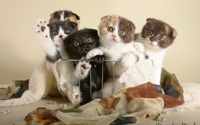 Picture kittens, the British, cats