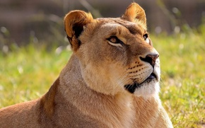 Picture face, Leo, lioness, lion, panthera leo, looking up