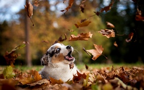 Picture autumn, leaves, nature, Park, dog, puppy