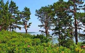 Picture sea, the sky, trees, landscape, flowers, pine, Baltika, Lithuania, nida, seaside