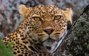 Picture look, face, nature, tree, leopard, closeup