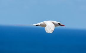 Picture bird, ocean, red-tailed tropicbird