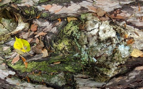 Picture autumn, sheet, tree, widescreen, Wallpaper, moss, wallpaper, bark, widescreen, background, the Wallpapers, full screen, HD …