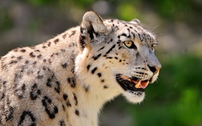 Picture face, interest, IRBIS, snow leopard, snow leopard, looks, spotted