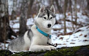 Picture winter, snow, dog, husky