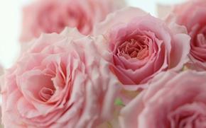 Wallpaper macro, roses, pink, buds