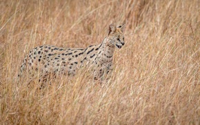 Wallpaper hunter, wildlife, Serval