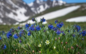 Wallpaper mertensia, lloydia Alpine, Colorado, nature