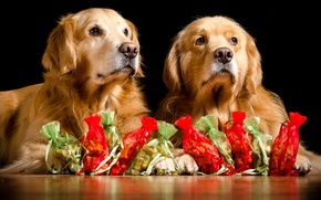 Picture dogs, pair, gifts, Golden Retriever, Golden Retriever