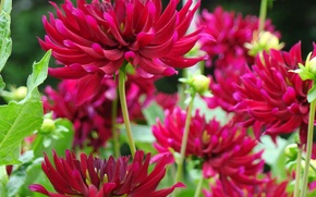 Picture greens, summer, leaves, flowers, stems, petals, green, buds, Burgundy, dahlias