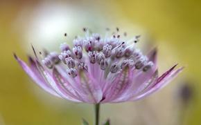 Picture flower, nature, exotic, astrantsiya