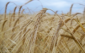 Picture wheat, field, the sky, macro, clouds, nature, beauty, grain, spikelets, ears